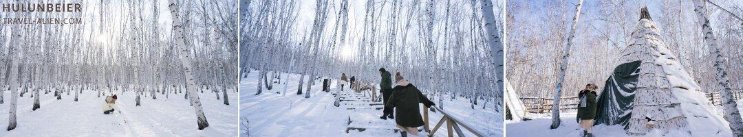 呼倫貝爾冬季白樺林